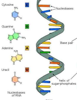 RNA  What Came First, RNA or DNA?
