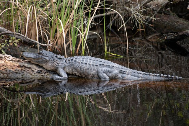 An alligator in a marsh