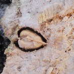 A bivalve cast encrusted in basal rock. The empty spaces were occupied by the now gone, dissolved shell.
