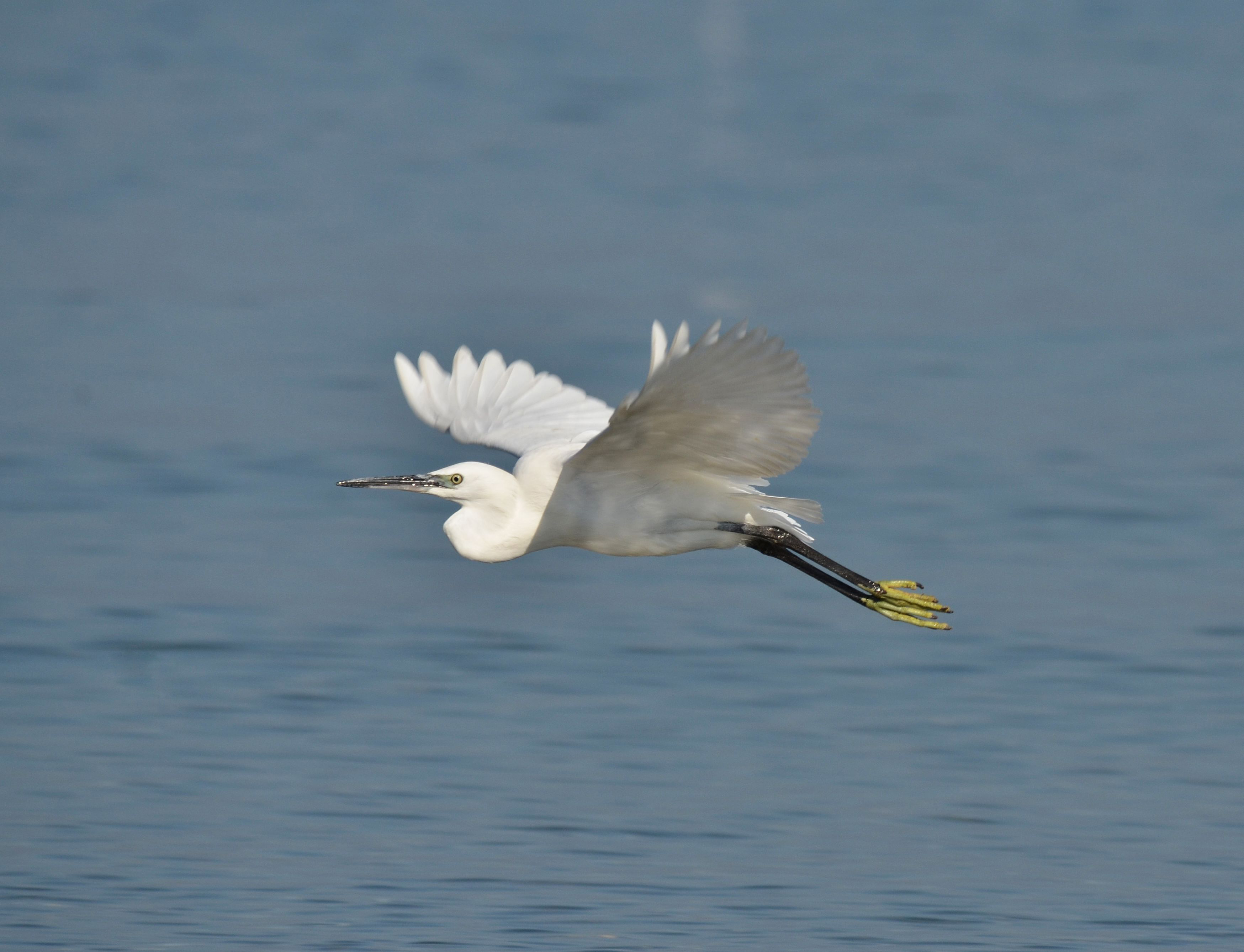 Egreta mică