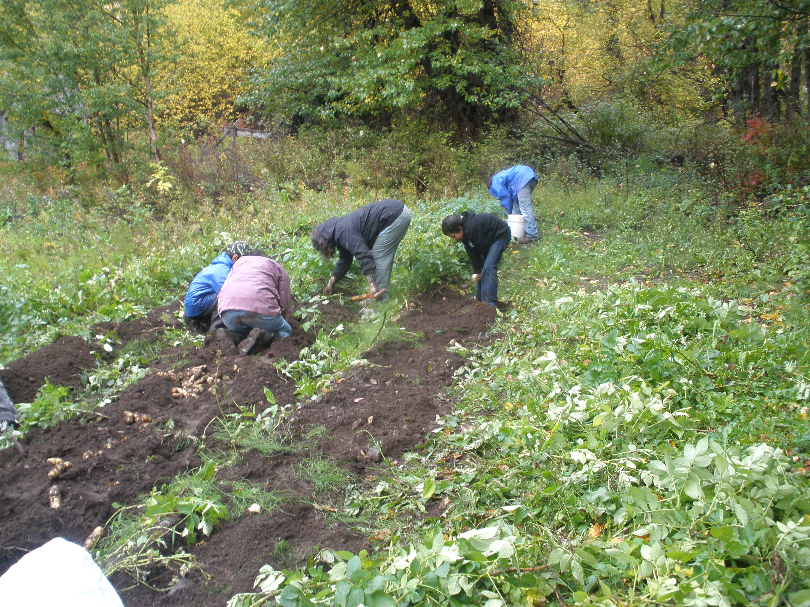 Community members pick potatoes during a potato-picking party Sept. 25 at the WISEGUYS potato patch in Klukwan