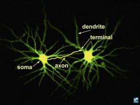 Neuronal structure