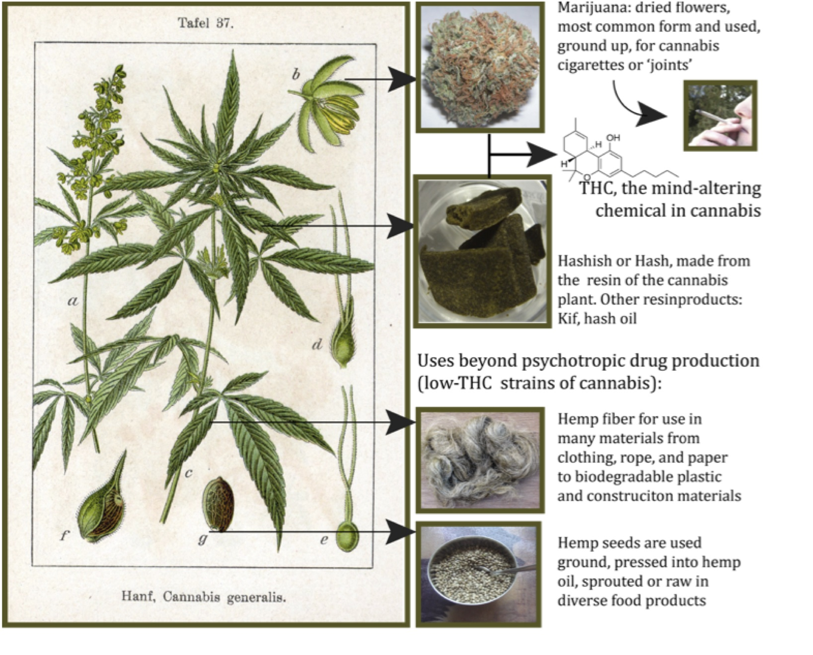 Hashish-hemp resin or not Then from what does hashish do