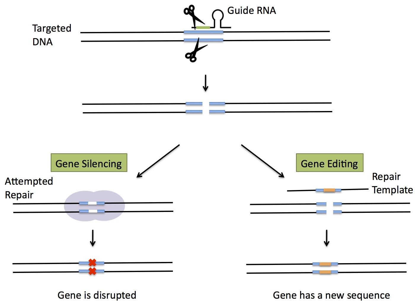 Crispr A Game Changing Genetic Engineering Technique Science In