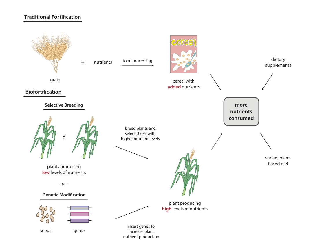 Good As Gold Can Golden Rice And Other Biofortified Crops