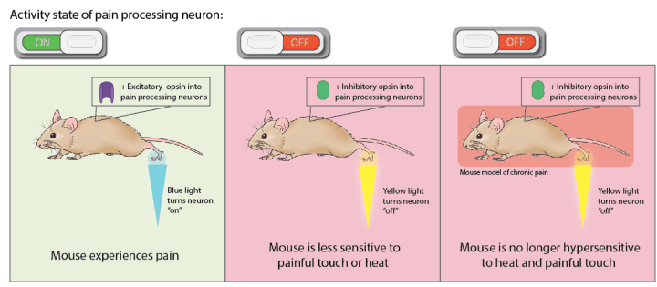 Figure 3: Turning on or off pain processing neurons. Left panel: Turning on pain processing neurons through light-activation of excitatory 'on' opsin results in the mouse feeling pain. Middle panel: Turning off pain processing neurons through light-activation of inhibitory 'off' opsin results in the mouse becoming less sensitive to pain. Right panel: Turning off pain processing neurons in a mouse with chronic injuries, thought to model human chronic pain, results in the mouse becoming less sensitive to painful touch or heat suggesting that optogenetics may work for treatment of chronic pain.