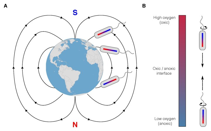 Figure 1 A. Magnetotactic bacteria can move to the bottom of water bodies by aligning to the Earth's magnetic field and moving forwards. B. Some magnetotactic bacteria localize to the optimal oxygen concentration by moving forwards when oxygen concentration is too high and backwards if it is too low.