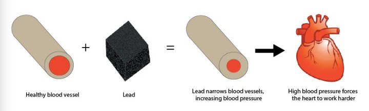Figure 3: By mimicking calcium and increasing cell stress, lead causes vessels to constrict, limiting the space for blood to flow (compare the size of the red circles.) This narrowing increases blood pressure, forcing the heart to work harder. Lead causes both the blood vessels and the heart to weaken, increasing a person's risk of heart disease.