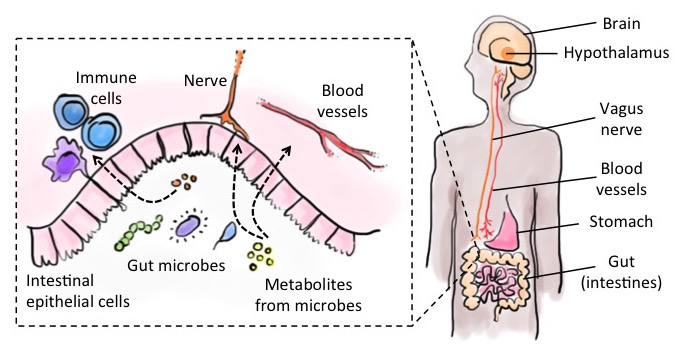 Figure 2: Overview of key players involved in potential gut-to-brain communication pathways. Intestinal epithelial cells line the gut while the inside is home to trillions of microbes. A dense network of blood vessels and neurons innervate the gut and travel to the brain where they may affect neural activity.