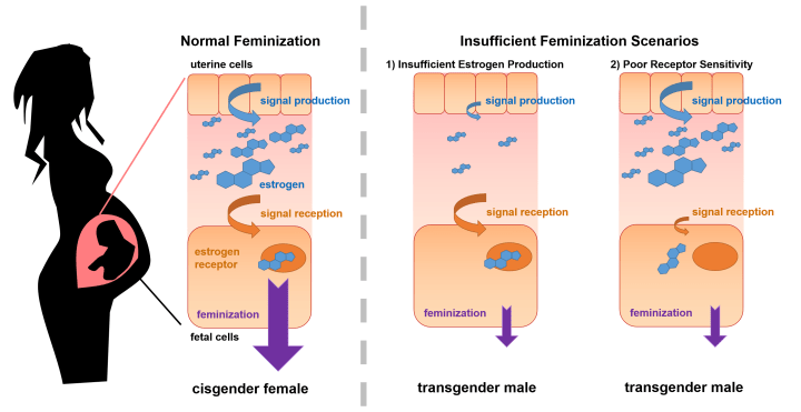 "Figure 2: Possible scenarios underlying insufficient feminization. During normal feminization, sufficient estrogen is present in the fetal environment. The estrogen is recognized by fetal cells and triggers the development of a female fetus. In Scenario 1, very little estrogen is present in the fetal environment. Even though the fetal cells are capable of sensing estrogen, very little enters the fetal environment and the fetus is insufficiently feminized. In Scenario 2, there is enough estrogen in the fetal environment, but fetal cells are effectively ""deaf"" to the estrogen and the fetus is insufficiently feminized."