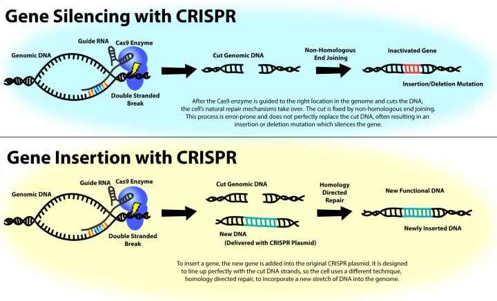 "Figure 2: CRISPR-based technology is commonly used to knock out specific genes (top) because the cell's natural mechanism for fixing cuts in DNA sometimes inserts or delete random DNA bases, scrambling the genetic code and effectively silencing the gene. But if a ""template"" that tells the cell exactly how to fix the DNA is provided, CRISPR can also be used to edit the genome with extraordinary precision (bottom)."