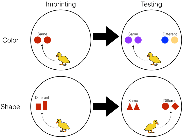 Figure 2: Martinho and Kacelnik first exposed ducklings to a pair of objects for 25 minutes to cause the ducklings to imprint on them (Imprint condition, left). The objects in the pair moved around a circular arena and could either be the 'same' or 'different' in terms of either color (top example) or shape (bottom example). Ducklings followed objects they imprinted on. Scientists then tested the ducklings' response to two new object pairs (Test condition, right). Ducklings were presented with a 'same' pair and a 'different' pair and observed to see which pair they followed. In the top case, the blue and orange squares in the testing condition are different colors like the imprinting pair so the duckling followed this pair. On bottom, the duckling imprinted on shapes that were the same, so he followed new shapes that were also the same. Importantly, when testing color, only balls were used and the colors used for the imprinting pair were not used in the testing pairs, so the ducklings couldn't rely on raw appearance alone to select a testing pair. Similarly, when testing shape, the shapes used for imprinting were not used in testing and all shapes were the same color.