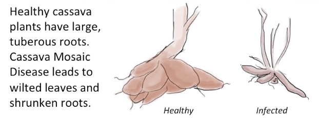 Figure 2:  Shrunken tubers are a classic symptoms of CMD infection.