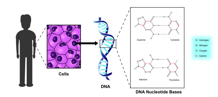 Figure 3: DNA is present in all of the cells of the human body. Carbon is incorporated into the building blocks of DNA, called nucleotide bases.