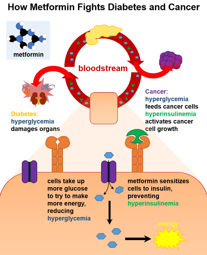 Figure 3: Metformin affects insulin signaling and energy production. Metformin sensitize the body to insulin already present in the bloodstream. As a result of better insulin signaling, cells begin to remove glucose from the blood and produce cellular energy.