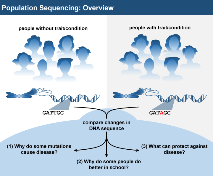 Figure 2: Overview of population sequencing. Studying the genomes of many thousands of people at once, known as population sequencing, is an exciting area of research and is producing countless new insights into human biology and medicine. Typically, a population sequencing experiment will involve sequencing the exomes or genomes of large groups of individuals with and without a trait, such as a disease like cancer, then comparing the differences in the genes of the two groups. Once researchers identify DNA changes associated with the trait of interest, they can then use that information to answer many important questions that help guide drug development, clinical practice, and therapeutic selection.