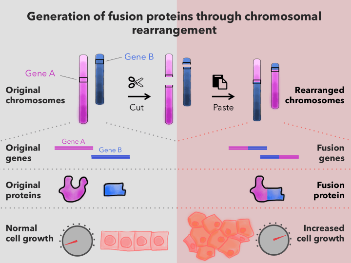 Figure 3: Fusion Protein Formation. Fusion proteins are generated when a large chromosomal change occurs that cuts and pastes part of one chromosome onto another. When this cut/paste action fuses two genes in just the right way, it creates a fusion oncoprotein with a new function that results in high growth pathway activity. The resulting fusion oncoprotein contains part of each original protein.