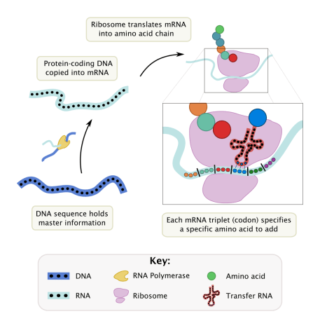 Ribosome-mediated protein synthesis