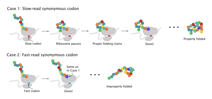 Synonymous codons and protein folding