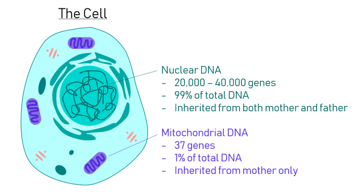 Mitochondrial Transfer: The making of three-parent babies