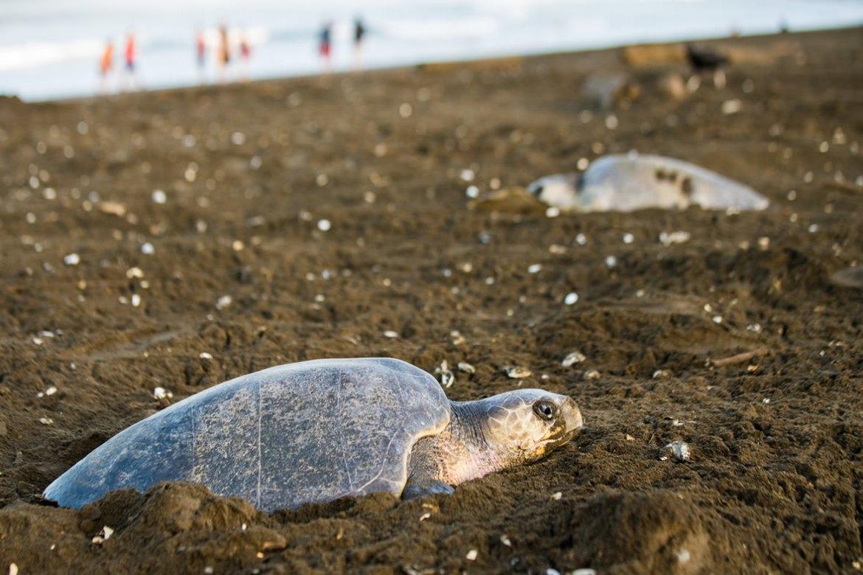 desove tortugas en tortuguero