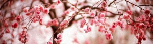 cherry blossoms Southern Institute for Women's Sexual Health