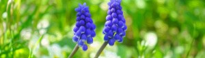 Purple Muscari Flower