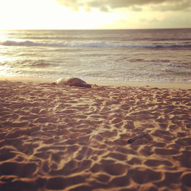 Met a sleepy monk seal this morning