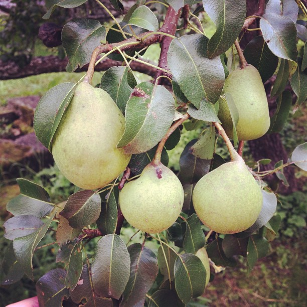 Tons of pears this year.