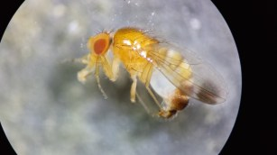 Male spotted wing drosophila can be distinguished by he spots on the tips of the first wing vein.