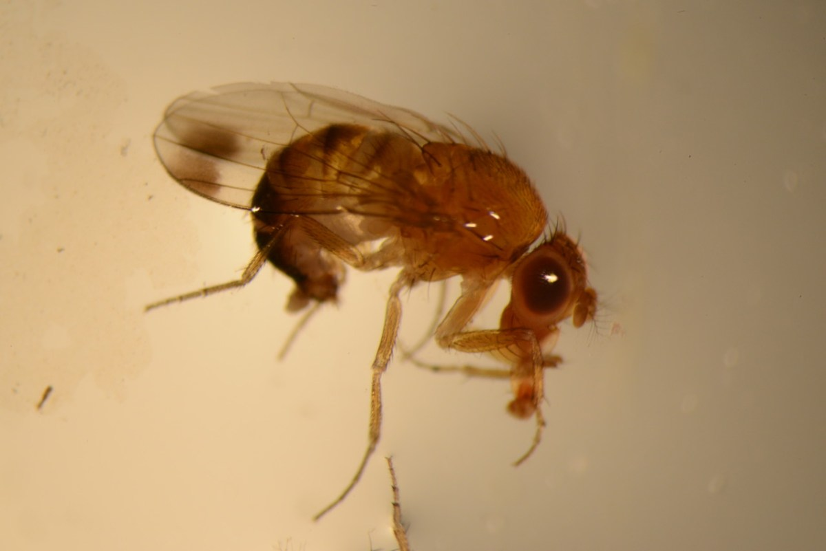 Spotted Wing Drosophila in Texas