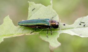 Figure 1. Adult Emerald Ash Borer. Photo: Debbie Miller, USDA Forest Service, Bugwood.org.