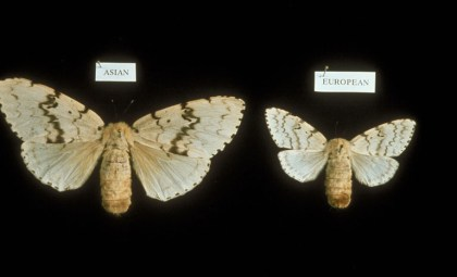 Figure 6. European and Asian Gypsy Moth Adult. Photo: USDA APHIS PPQ, USDA APHIS PPQ, Bugwood.org