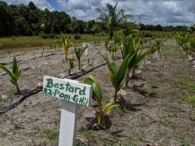 Coconut propagation trial