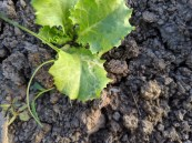 Leaf-miner on lettuce
