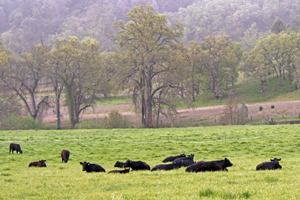 Cattle in Asbill Valley