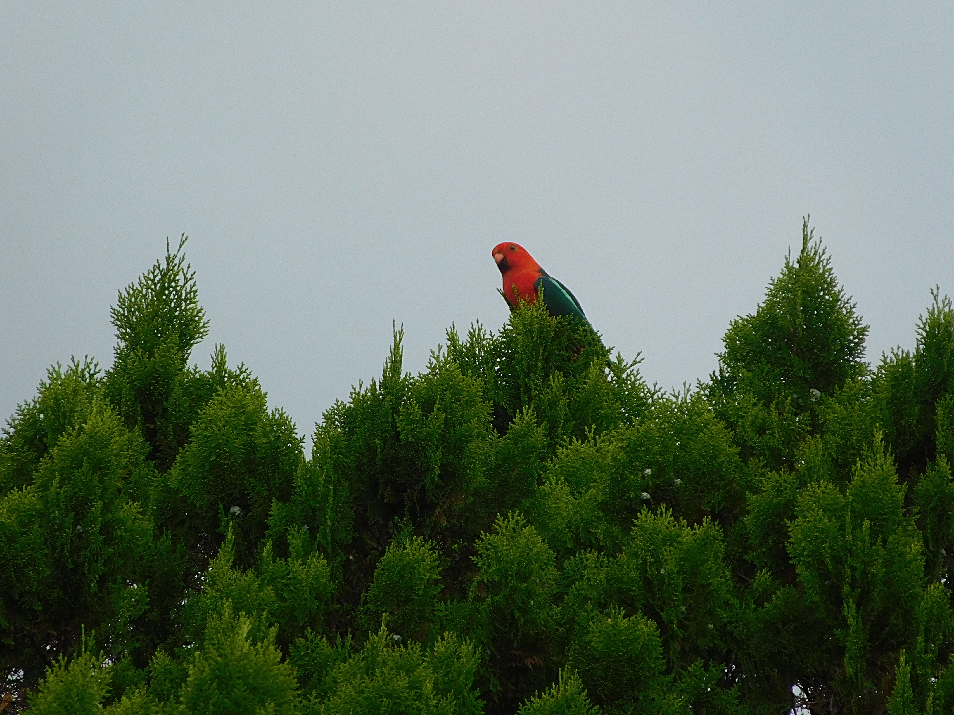 KING PARROT IN YARD