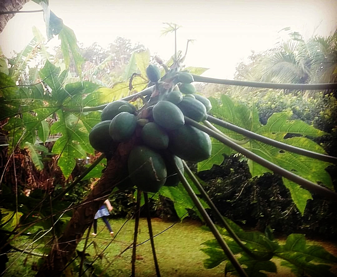 PAW PAWS IN NORTH BELLINGEN