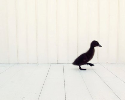 2 little black duckling - Cute Photography of Kittens and Ducklings by Amy Tyler