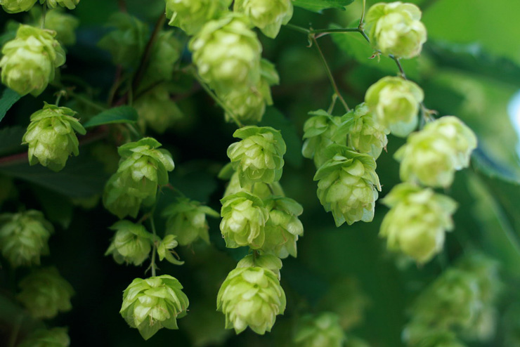 Close-up of a bunch of hops