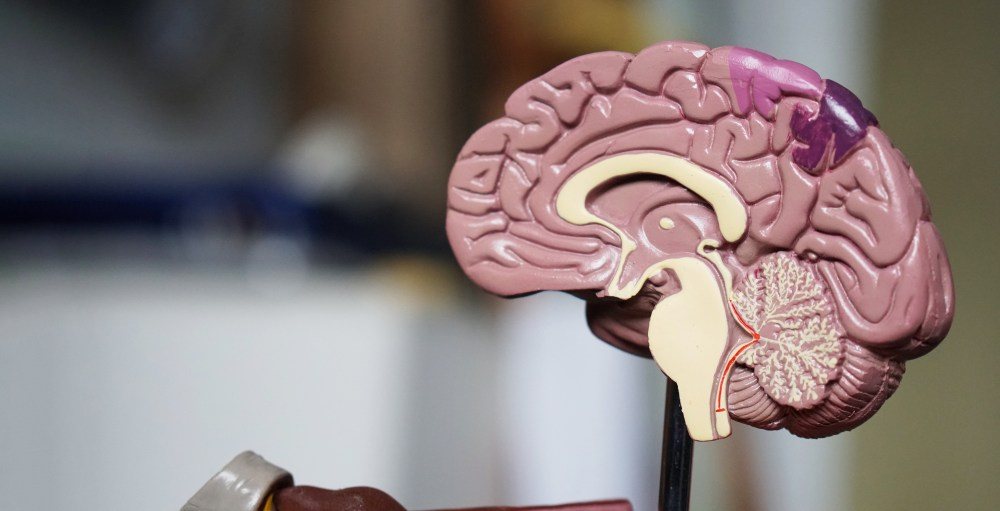 A model showing the inside of the human brain