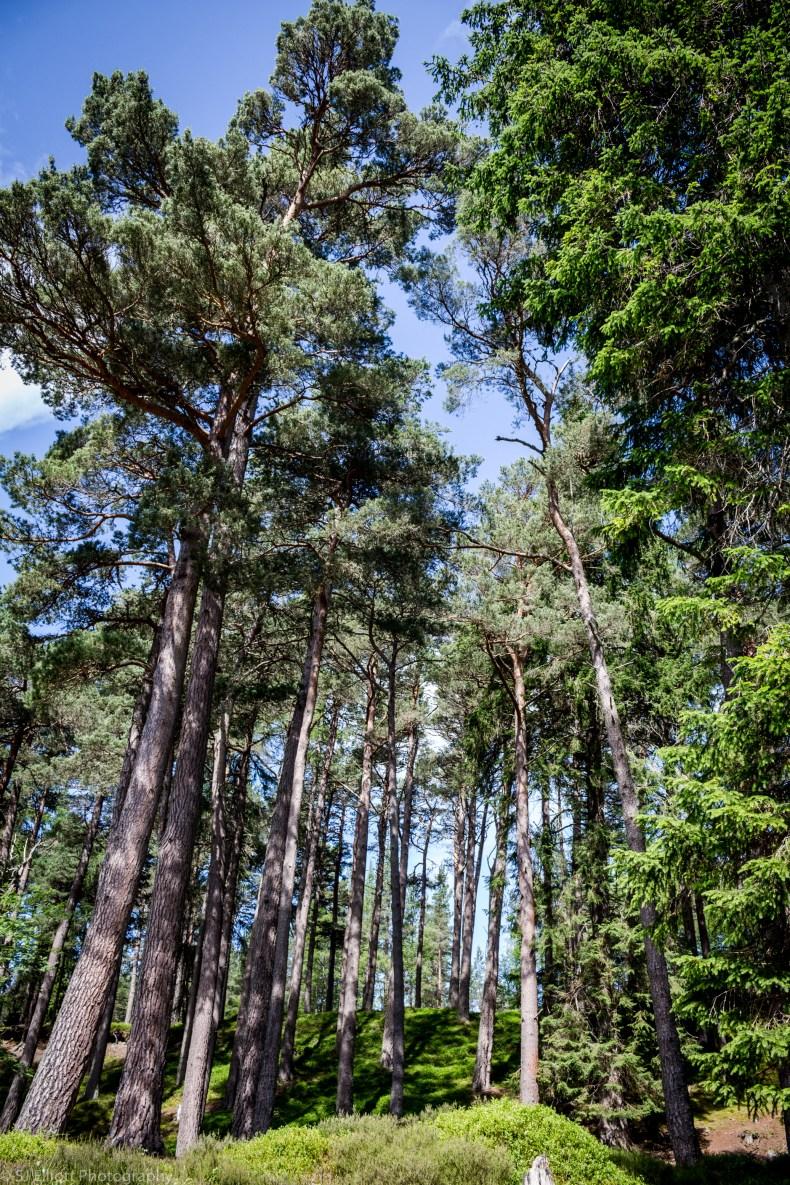 Linn O Dee Caledonian Pines