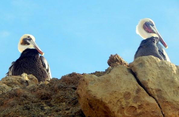 tpsb.pelican11