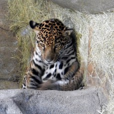 This jaguar is a new MOM!