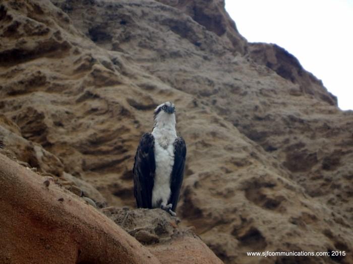 osprey.sjf.15