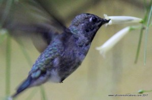 Hummingbird enjoying nectar