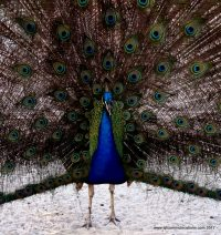 Peacock at the San Diego Zoo