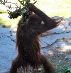 sdzoo.9.25.orangutan5