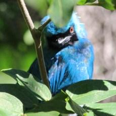 sdzoo.bluebird