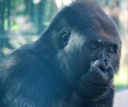 sdzoo.gorilla.1